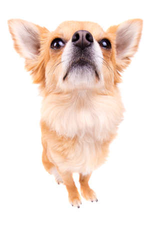 long hair chihuahua: Cute looking male long hair Chihuahua isolated on white Stock Photo
