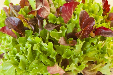 Fresh green and red lettuce seedlings photo