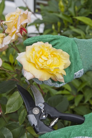 Cutting or pruning a rose with green gloves photo