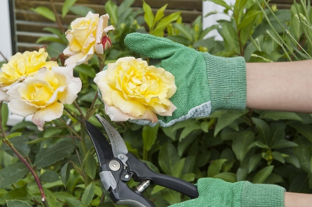 pruning: Cutting or pruning some roses with green gloves