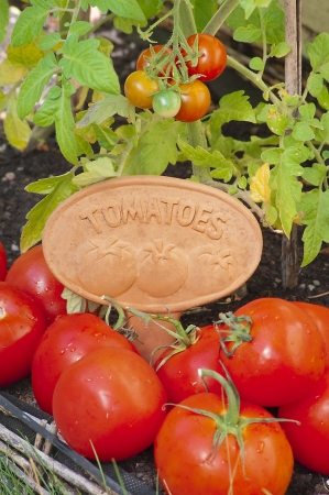 Group of delicious tomatoes on a garden with a a plaque with the word tomatoes engraved on it