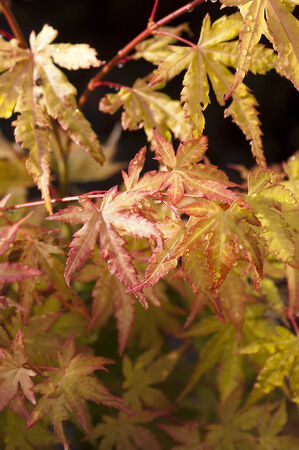 Wet leaves of a Japanese Maple on a black background