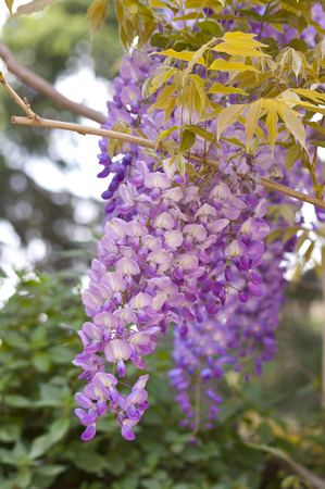 Purple and pink wisteria, shallow focus