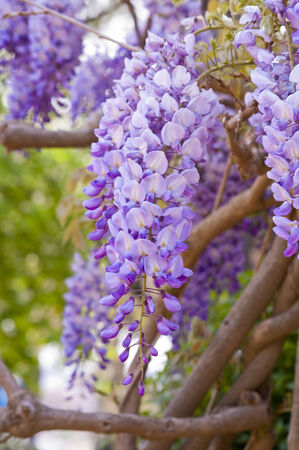 Purple wisteria, shallow focus