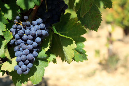 cabernet sauvignon: Red wine grapes growing in a vineyard in southern France.  Space for copy on right. Stock Photo