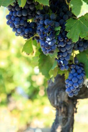 rhone: Red wine grapes growing in a vineyard in the Cotes Du Rhone region of southern France.
