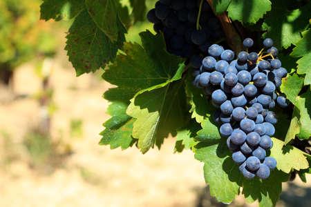 uvas vino: Las uvas de vino rojas que crecen en un vi�edo Foto de archivo