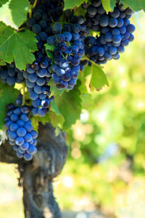 france: Red wine grapes growing in a vineyard Stock Photo