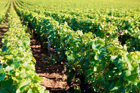 pinot noir: Pinot noir red wine grapes vineyard burgundy france