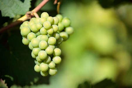 grapes wine: Chardonnay white wine grapes vineyard burgundy france closeup Stock Photo