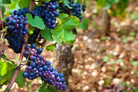 pinot: Red pinot noir red wine grapes Burgundy vineyard France.