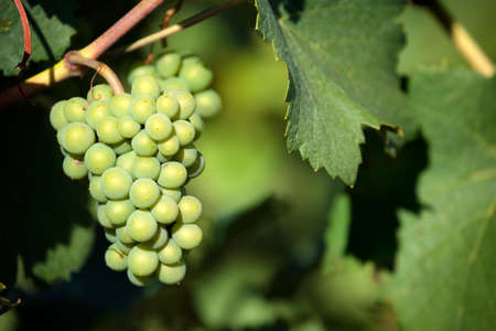 chardonnay: Chardonnay white wine grapes vineyard burgundy france closeup Stock Photo
