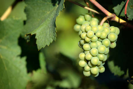 Sauvignon blanc white wine grapes vineyard bordeaux france closeup