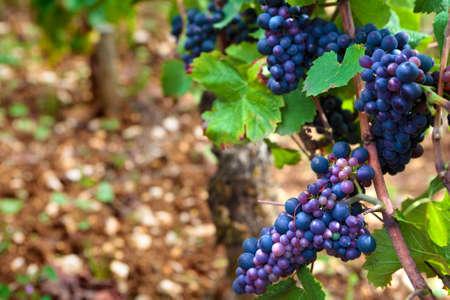 pinot noir: Red pinot noir red wine grapes Burgundy vineyard France.