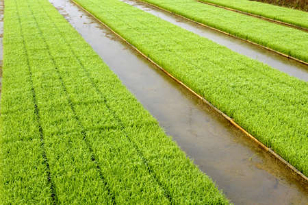 Young rice plant seedlings ready for planting growing in trays at edge of paddy field