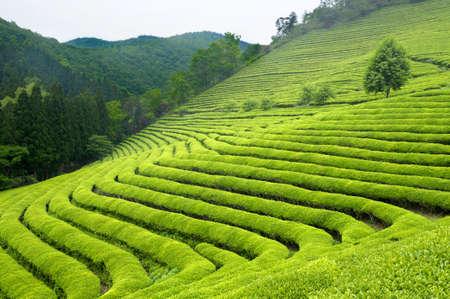 Verde piantagione di tè in Corea del Sud Archivio Fotografico - 56437259