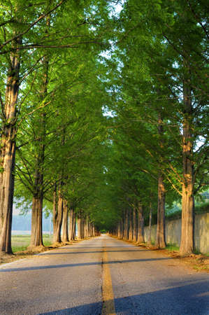 diminishing perspective: Tall tree lined straight road with diminishing perspective Stock Photo