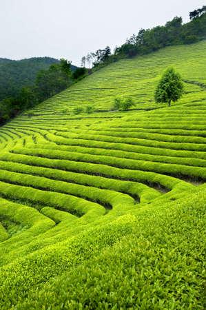 plantación de té verde en Corea del Sur