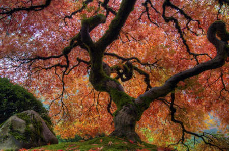 Japanese Maple Tree at Portland Japanese Garden in Autumn Stock Photo
