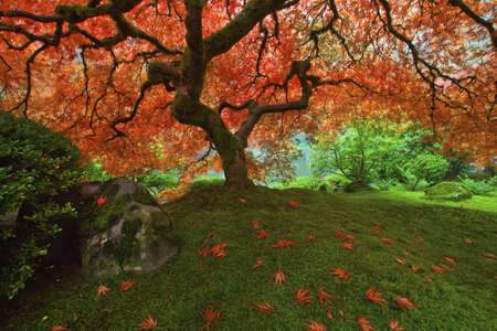 Japanese Maple Tree in the Fall at Portland Japanese Garden 2 Stock Photo - 5925081
