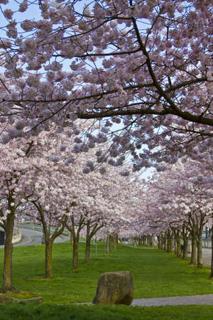 Cherry Blossom Blooming at Spring Time Portland Oregon photo