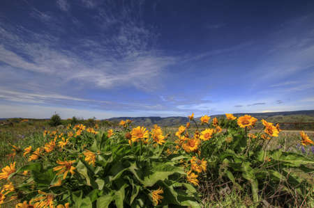 Wildflowers at Rowena Crest in Columbia River Gorge 2