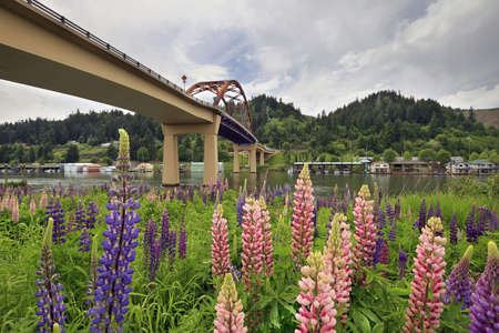 lupine: Lupine Flowers Blooming in Spring under Sauvie Island Bridge Stock Photo