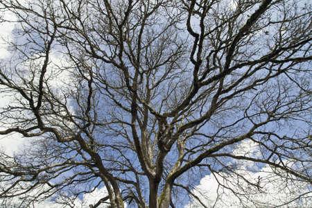 Mighty Oak Tree in Winter with Blue Sky 版權商用圖片