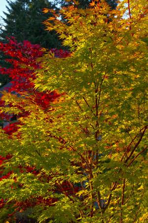 サンゴの樹皮と庭の景色のブラッドグッド カエデの木