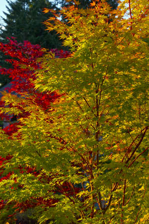 Coral Bark and Bloodgood Maple Trees in Garden Landscape