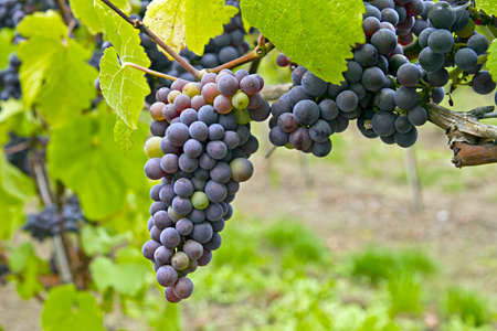 raisin: Red WIne Oregon Vineyard in the Fall 2 Stock Photo