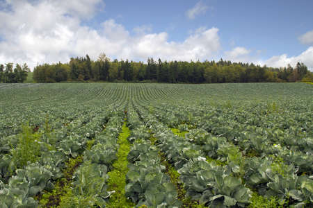 cabbage patch: Cabbage Patch in Oregon Farmland along Old Columbia Highway Stock Photo