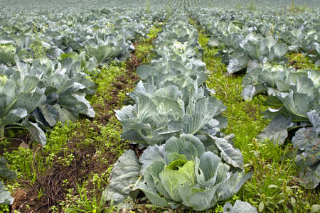 cabbage patch: Cabbage Patch in Oregon Farmland along Old Columbia Highway 2 Stock Photo