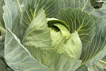 cabbage patch: Cabbage Patch in Oregon Farmland Close Up Macro