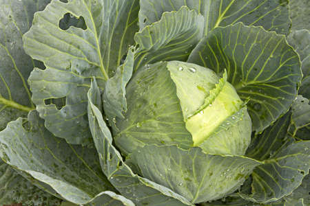 cabbage patch: Cabbage Patch in Oregon Farmland Close Up Macro 2