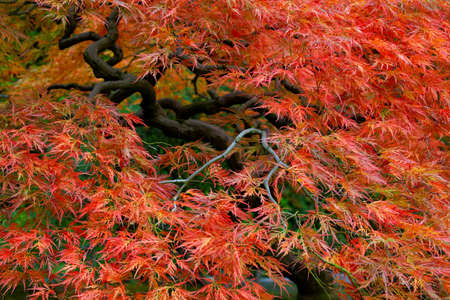Old Japanese Red Lace Leaf Maple Tree in Autumn 3 Stock Photo - 8040179