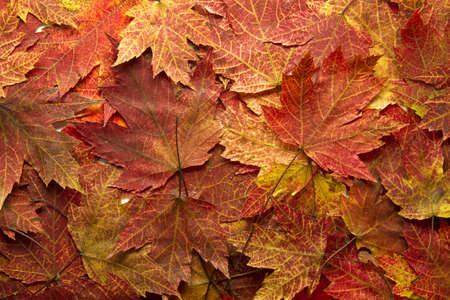 Red Autumn Maple Leaves Background in the Fall Stock Photo - 8098518