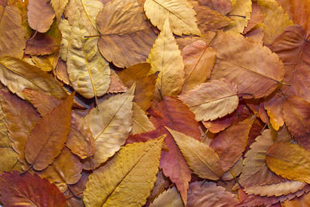 American Beech Tree Autumn Leaves Background in the Fall Stock Photo - 8098516