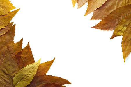 beech leaf: American Beech Tree Autumn Leaves Background in the Fall 2