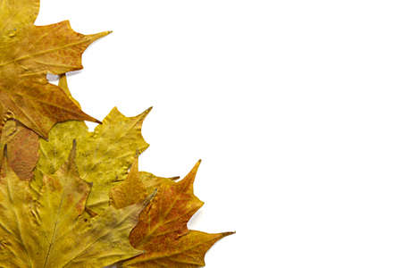 Yellow Maple Leaves in Autumn Background Border Stock Photo - 8098509