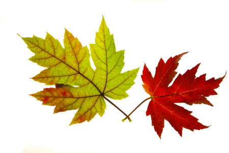 autumn colour: Pair of Red and Green Maple Leaves Backlit on White Background