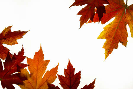 Maple Leaves Mixed Changing Fall Colors Background Backlit 2 photo