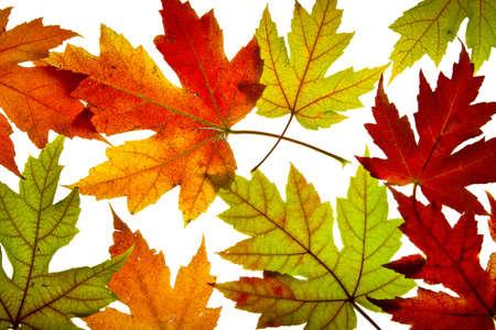 Ahornblätter gemischt Fall Farben Hintergrund Backlit ändern Standard-Bild - 8152683