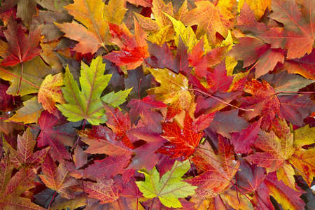 Maple Leaves Mixed Changing Fall Colors Background 2
