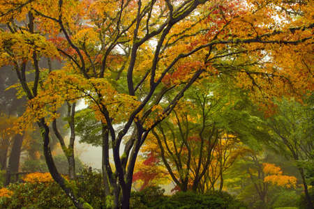 Canopy of Maple Trees at Japanese Garden in the Fall by the Bridge photo