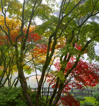 Canopy of Maple Trees at Japanese Garden in the Fall by the Bridge 2 photo