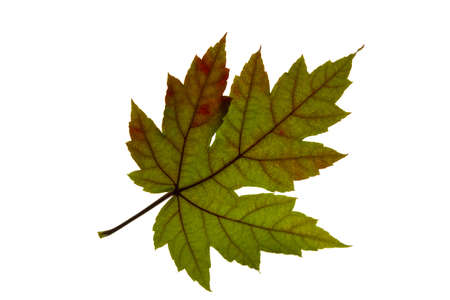 Single Maple Tree Leaf Changing Fall Color Backlit