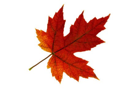changing seasons: Single Maple Tree Leaf Changing Fall Color Backlit 2 Stock Photo
