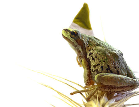 christmas frog: Christmas Elf Tree Chorus Frog Sitting on Top of Wheat Stalk Stock Photo