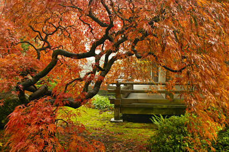 Red Lace Leaf Maple Tree in Autumn at Portland Japanese Garden Stock Photo